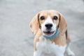 Starring beagle Royalty Free Stock Photo