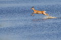 Startled Deer Leaping Through the Wate Royalty Free Stock Photography