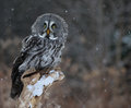 Startled great grey owl a strix nebulosa perched on a stump with snow falling in the background Stock Images