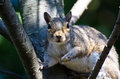 Startled squirrel making eye contact while sitting in a tree Royalty Free Stock Photos
