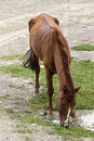 Starving horse photo taken in mallasa la paz bolivia of a brown eating grass the ribs of the a clearly visible Royalty Free Stock Images