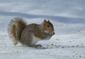 Starving squirrel on the ice a tree is devouring sunflower seeds Stock Images