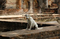 Starving stray dog dogin at archaeological site in lopburi province thailand Royalty Free Stock Photos