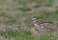 Stationary killdeer charadrius vociferus standing in a field shot in kitchener ontario Royalty Free Stock Photos