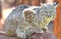 Stationnement national de yellowstone de chat sauvage nord-am�ricain, Idaho Photographie stock libre de droits
