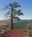 Steadfast Ponderosa on Horse Butte Royalty Free Stock Photo