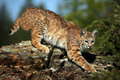 Stealthy Bobcat Royalty Free Stock Photo