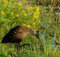 Stealthy shorebird hunting limpkin at marshy edge of lake Royalty Free Stock Photo