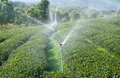 Steam sprinkle in green tea plantation row of Royalty Free Stock Photo