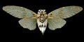 Steampunk cicada with style armour Stock Image