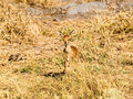 Steenbok Royalty Free Stock Photography