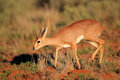 Steenbok antelope male raphicerus campestris south africa Royalty Free Stock Photo
