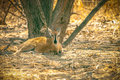 Steenbok antelope is resting in savanna of botswana Royalty Free Stock Images