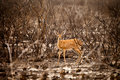 Steenbok antelope is walking in reserve of botswana Stock Photo