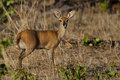 Steenbok, Chobe, Botswana Royalty Free Stock Photography
