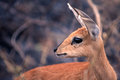 Steenbok close up taken in the kruger national park Stock Photo