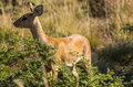 Steenbok female in the bushveld south africa Royalty Free Stock Photos