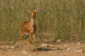Steenbok in Kgalagadi approaching waterhole Royalty Free Stock Photo