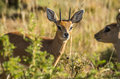 Steenbok male in the bush south africa Royalty Free Stock Photos