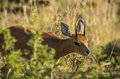 Steenbok male in the bushveld south africa Royalty Free Stock Images
