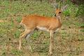 Steenbok raphicerus campestris in kruger national park south africa Stock Images