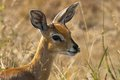 Steenbok raphicerus campestris in kruger national park south africa Royalty Free Stock Image