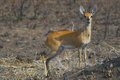 Steenbok raphicerus campestris in kruger national park south africa Stock Photo