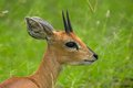 Steenbok raphicerus campestris in kruger national park south africa Stock Photos