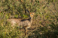 Steenbok relaxed in the bushveld south africa Stock Images