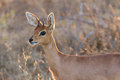 Steenbok standing in the late afternoon sun with rim lighting Royalty Free Stock Photos