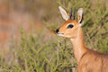 Steenbok standing in scrub in kalahari looking back for danger Stock Photos