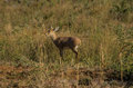 Steenbok steenbuck in its natural habitat south africa Stock Photography