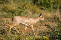 Steenbok walking in its natural environment south africa Stock Photos
