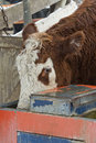 Steer drinking in a feed lot Stock Photography