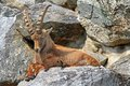 Steinbock the alpine ibex living in alps Royalty Free Stock Photography
