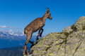 Steinbock climbs on italian alps Royalty Free Stock Photography