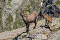Steinbock climbs on italian alps Royalty Free Stock Photo