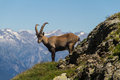 Steinbock climbs on italian alps Royalty Free Stock Images