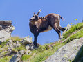 Steinbock climbs on italian alps Stock Images