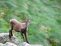Steinbock a on a mountain Royalty Free Stock Photo