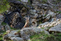 Steinbock on rock close up portrait deer in italian alps Royalty Free Stock Photography