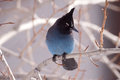 Stellar jay looking to his side Royalty Free Stock Photo