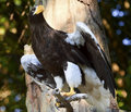 Stellar's Sea Eagle Haliaeetus Pelagicus Stock Photography