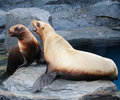 Stellar Sea Lion Stock Photo