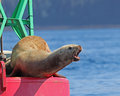 Stellar Sea Lion yelling Royalty Free Stock Photo