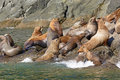 Stellar Sea Lions Crowding on a Rock Royalty Free Stock Photo