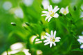 Stellaria blooms on may green meadow Stock Photo