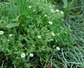 Stellaria dichotoma Royalty Free Stock Photo