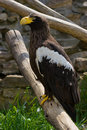 Steller's sea eagle (Haliaeetus pelagicus) Royalty Free Stock Photos