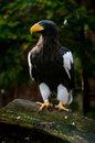 Steller s sea eagle haliaeetus pelagicus the is a large bird of prey in the family accipitridae it is an that lives in Royalty Free Stock Photography